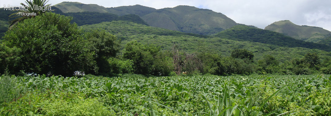 Plantaciones de Tabaco en Chicoana